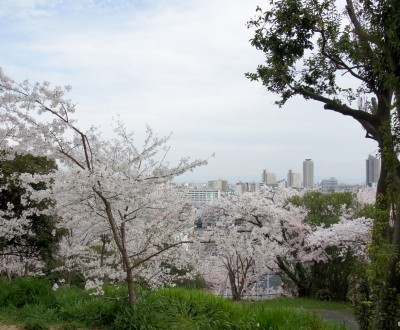 Egeyama Park, View on blooming cherry trees and Kobe