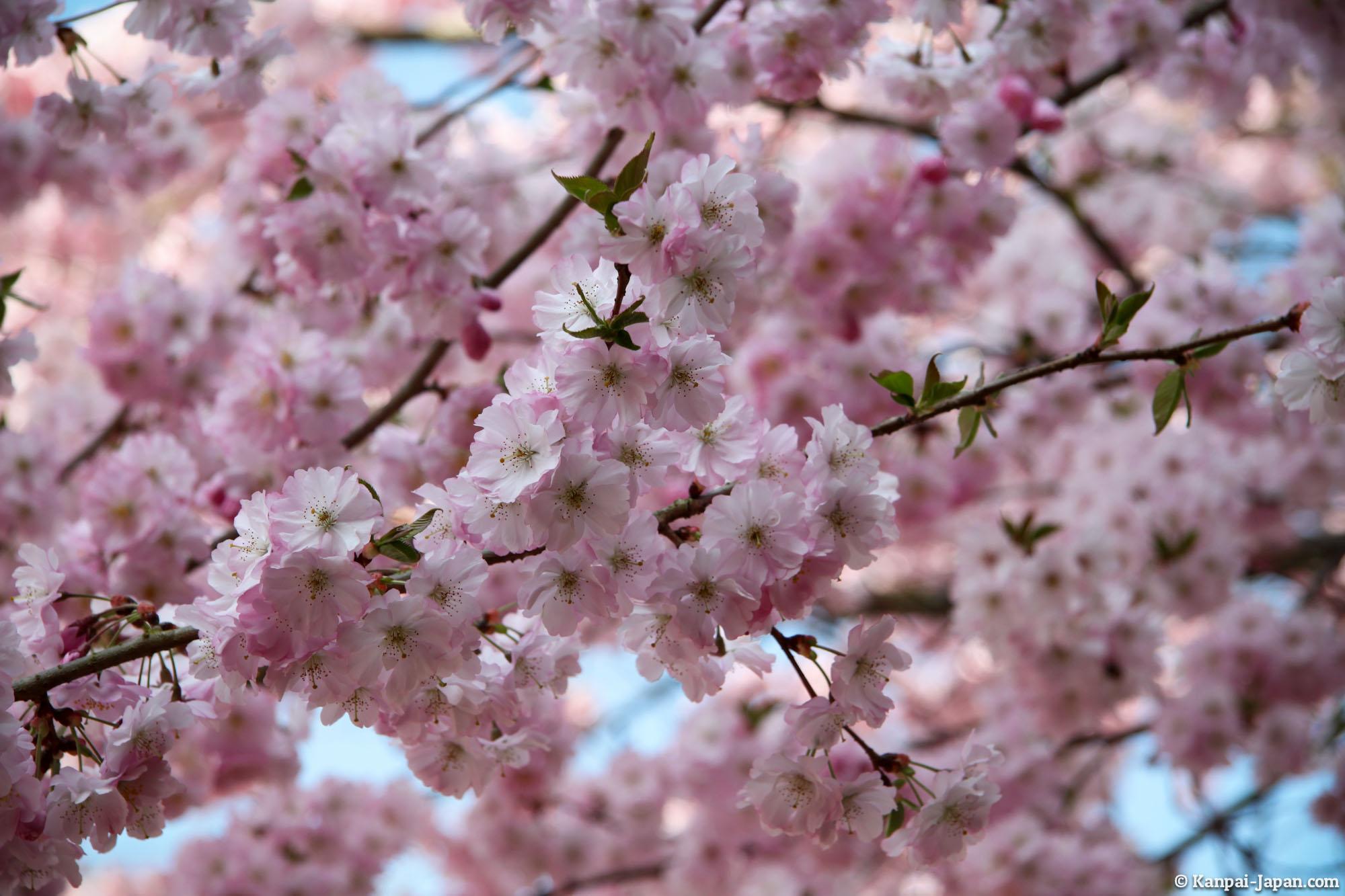 Sakura Ohanami - Japanese Cherry Blossom