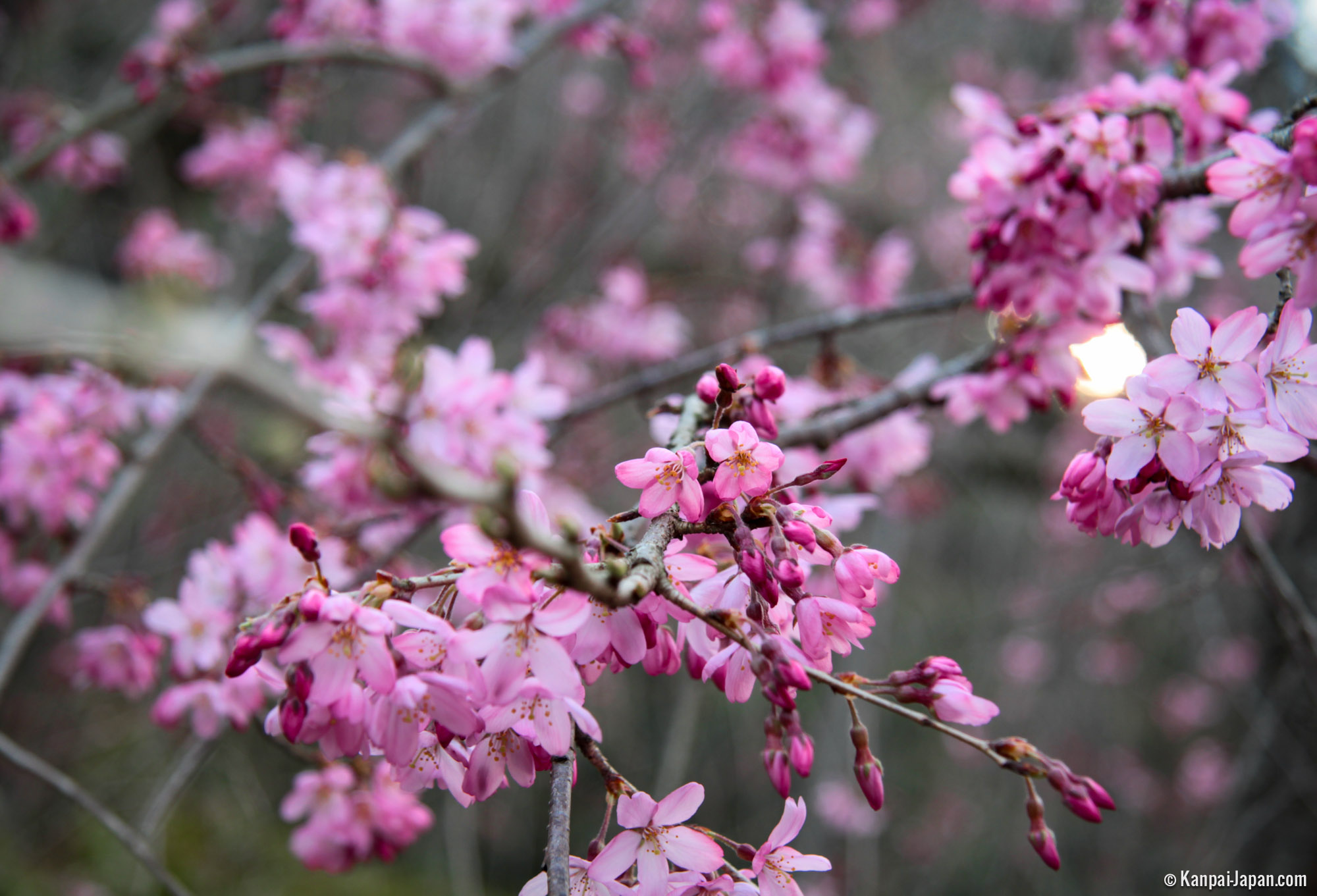 Japanese Plum Trees First Blossoms Of The Year